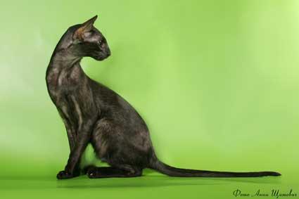 Черная кошка с сайта www.oricat.ru